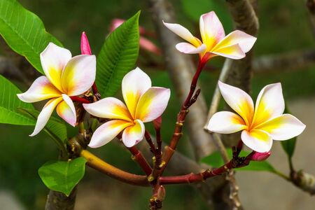 Leelawadee flower in Thailand Asia