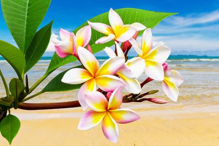 leelawadee: Leelawadee flower at clean beach in Thailand Stock Photo