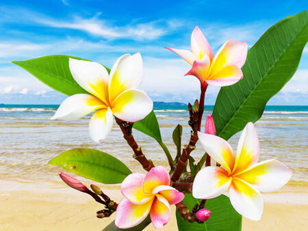 Leelawadee flower at beach on summer in Thailand photo