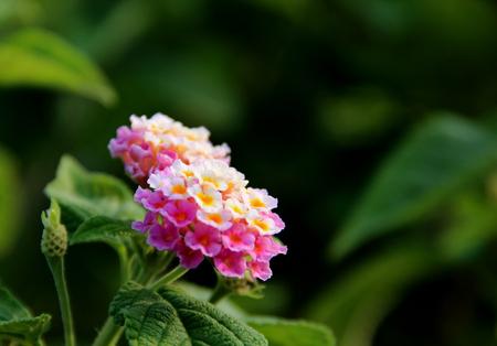 lantana: close up of Lantana camara