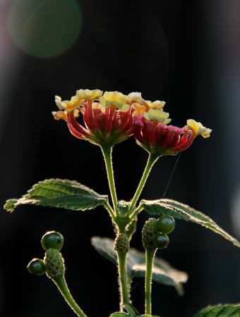 lantana camara: close up of Lantana camara