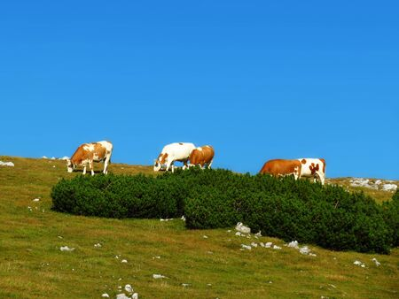 top Austria Alps, cows at the top of the hill photo