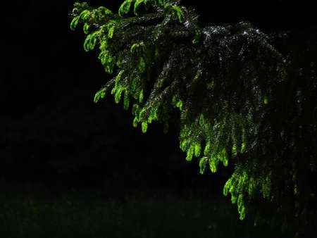 firtree: Young branches of a fir-tree on a black background