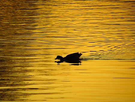 duck on the pond at sunset in the water