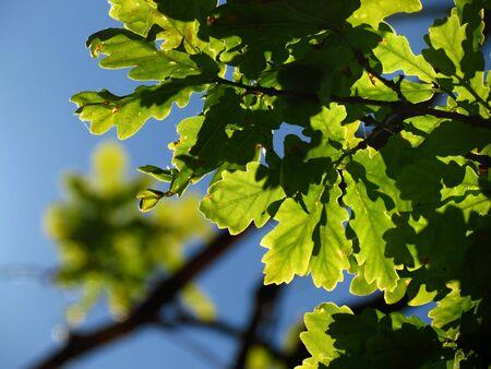 beech leaf: Green beech leaf and blue sky background