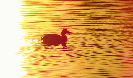 duck on the pond at sunset in the water photo