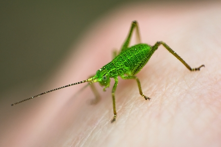 Insect green grasshopper closeup isolated over background photo