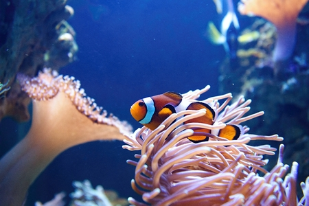 clown fish: Colorful Clown fish swimming by anemone at a coral reef