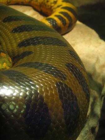 narrowing: Scales detail of Yellow, black, brown Anaconda (Eunectes notaeus), orientacion on Vertical