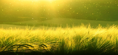 Backdrop of ripening barley of wheat field on the sunset sky. Ultrawide background. Sunrise. The tone of the photo transferred to the green transition