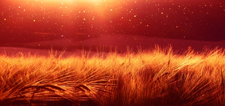 Backdrop of ripening barley of wheat field on the sunset sky. Ultrawide background. Sunrise. The tone of the photo transferred to the red transition