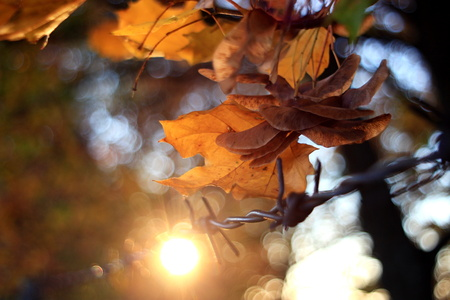 Detail of bright leaves in autumn with beautiful bokeh, embedded barbed wire Stock fotó