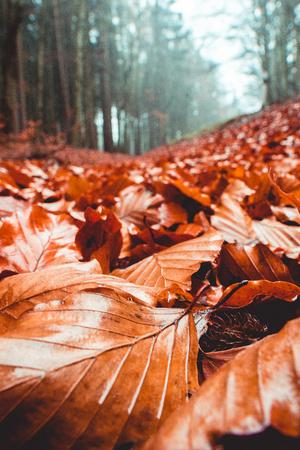 Orange fallen beech leaves on the ground closeup
