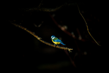 Blue tit sitting on a branch, dark black isolated background Stock Photo