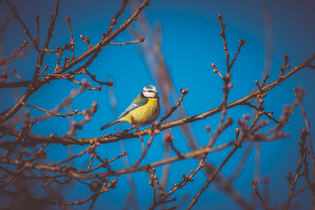 Blue tit sitting on a tree crown, blue sky in the background