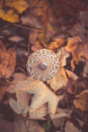 beautiful photo of mushroom Macrolepiota procera in european forest