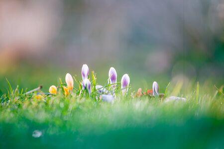 the first spring flowers in garden crocus Stock fotó