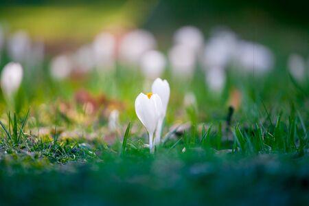 the detail of first spring flowers in garden crocus