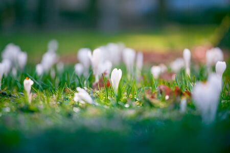 The first spring flowers crocus. White spring fragrant flowers of crocus and green grass. Spring bright floral background.
