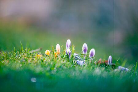 the Crocus bulb, first spring flower Stock fotó