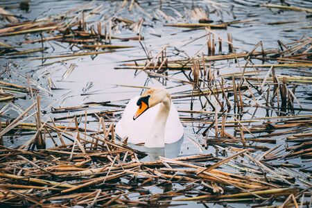 the white swan in the water in the middle of the reeds Stock fotó