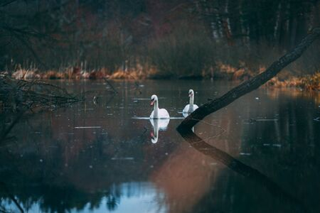 the two swans in the middle of the lake