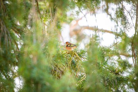 the songbird little bird in the treetop