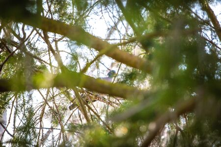 the hidden pigeon in the crown of a tree