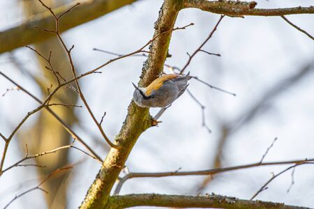the nuthatch close up of the bird perched on a thick branch facing Stock fotó