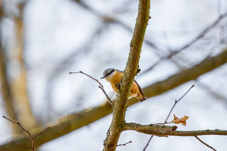 the Nuthatch on a branch. Close up Stock fotó