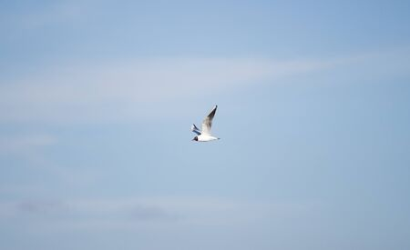 the flying seagull in the open sky Stock fotó