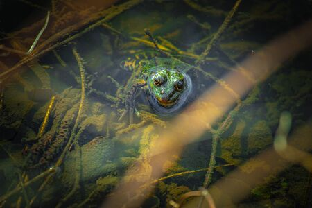 the submerged green frog on the shore