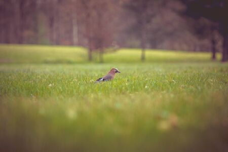 the jay bird on a meadow in the grass