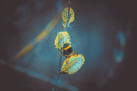 the detail of a bumblebee of willow in early spring
