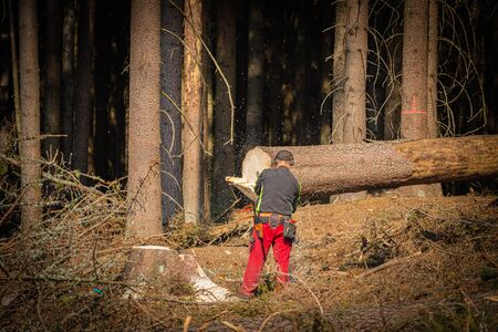 the lumberjack in the forest, chainsaw cuts down trees infested with bark beetles