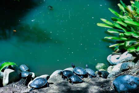 Turtles on the stones next to the pond