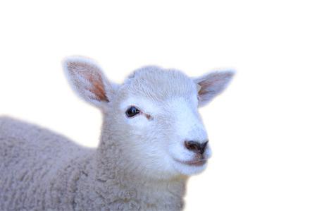 白地にかわいい若い羊 写真素材