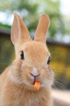 Bunny eating carrot