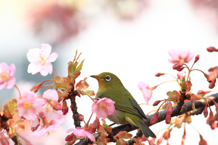 Bird with cherry blossom