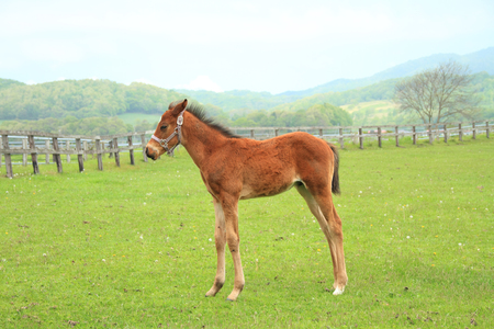 bloodstock: Cute foal on a spring pasture