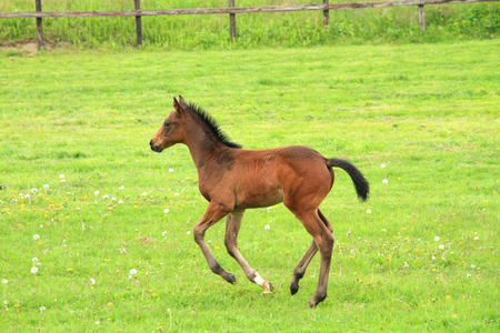 horseflesh: Cute foal on a spring pasture