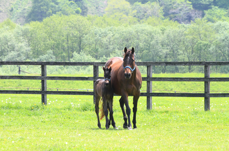 horseflesh: Foal with a mare on a spring pasture