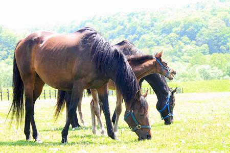 horseflesh: Horses on a spring pasture