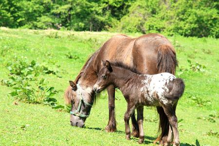 yegua: Potro lindo del potro con una yegua Foto de archivo