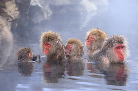 Snow monkey in hot spring, Jigokudani, Japan