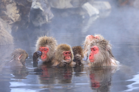 Snow monkey in hot spring Jigokudani Japan