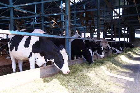 牛の牛舎で給餌