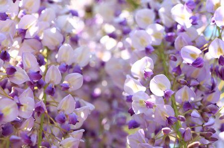 wisteria: Japanese wisteria