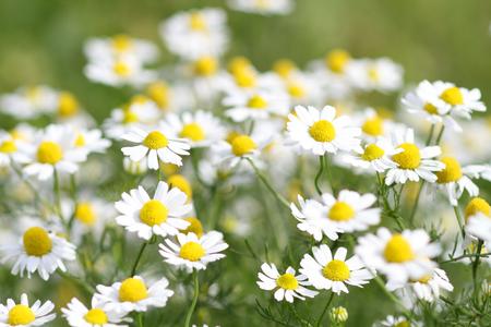 camomile: Camomile flowers Stock Photo