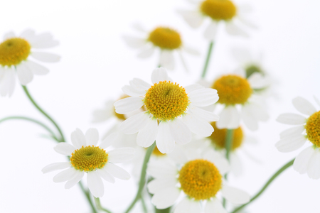 Camomile flowers Imagens